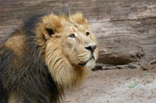 Muss ein steriler Löwe sterben?