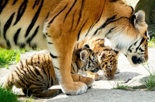 Tiger-Drillinge dürfen nach draußen