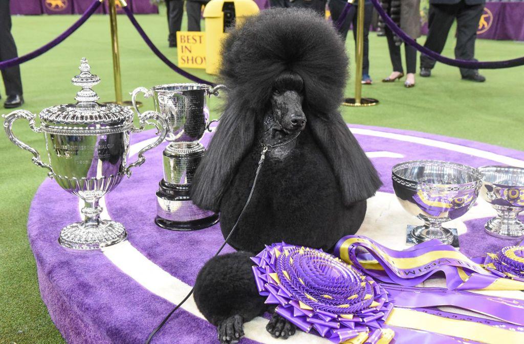 """Pudel Siba wurde am Dienstagabend in der Kategorie """"Best in Show"""" zur besten Hündin der Westminster Kennel Club  Show gekürt. Foto: AFP/STEPHANIE KEITH"""