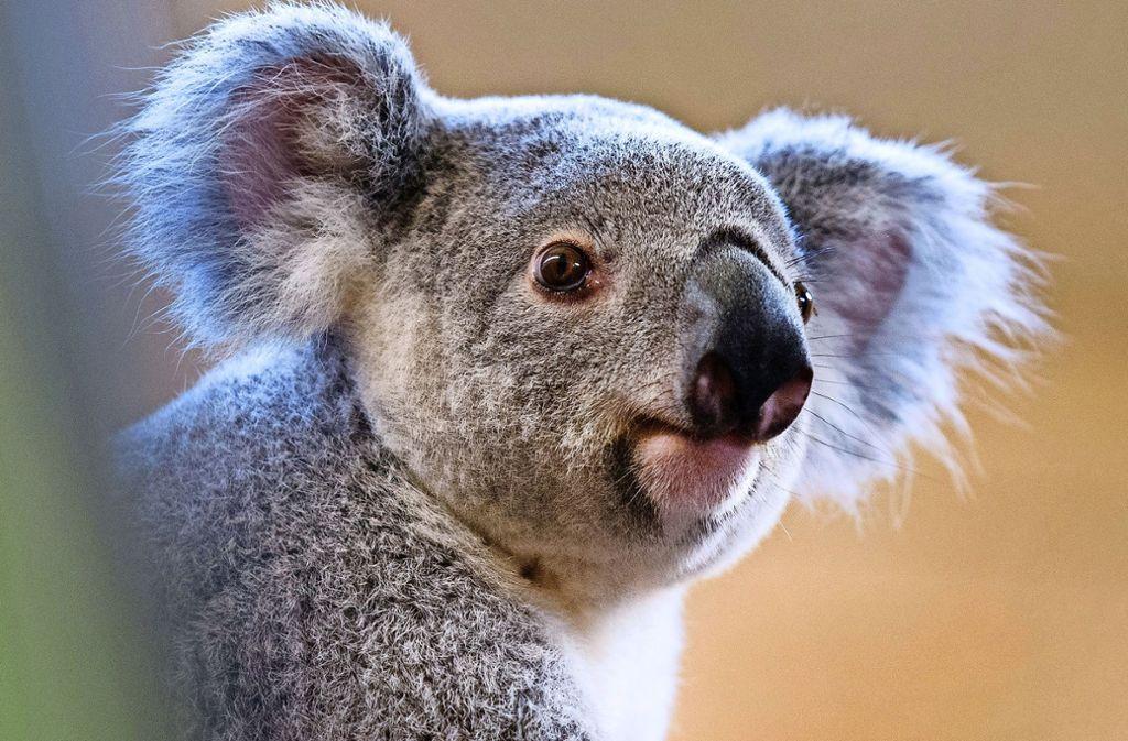 Sympathieträger in den Zoos dieser Welt: Koala Foto: dpa