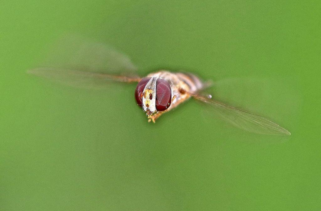 Schwebfliegen haben keinen Stachel und auch keinen Stechrüssel. Aber fliegen können sie wirklich ausdauernd. Foto: Michael Eick