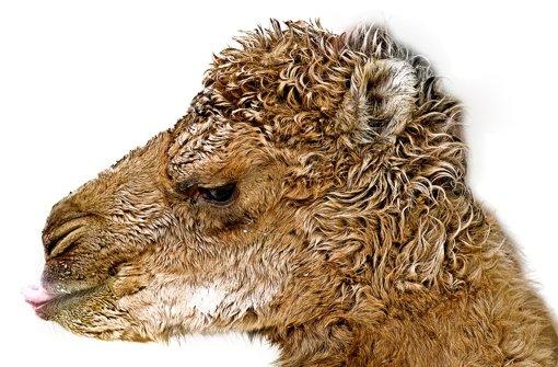 Mers-Impfstoff wirkt bei Tieren