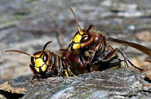 Die Falken unter den Wespen