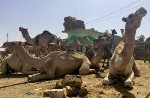Australische Behörden wollen Tausende Kamele töten