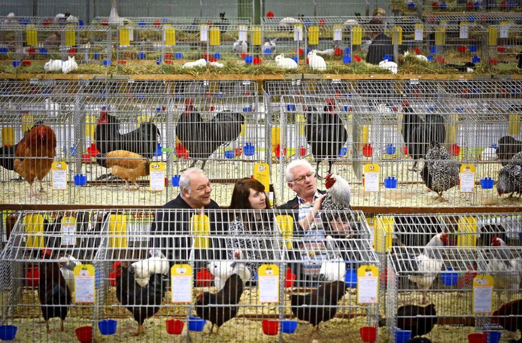 Hühner, Enten, Gänse, Tauben, Wachteln und Fasane. In der Rankbachhalle konnten die Besucher etliche Prachtexemplare der Geflügelzüchter bestaunen. Foto: factum/Simon Granville