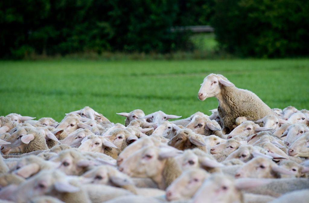 Die Fiebererkrankung wurde wohl von einer Schafherde übertragen. Foto: dpa
