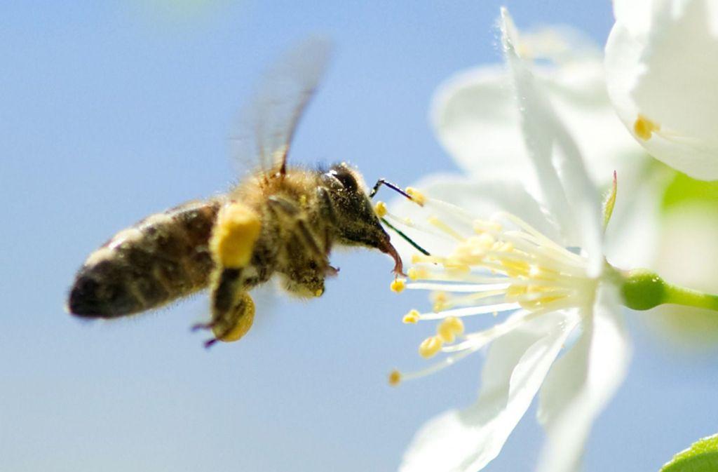 Die Obstbäume haben in diesem Jahr oft nur wenige Tage geblüht. Entsprechend gering ist die Honigmenge ausgefallen. Foto: dpa