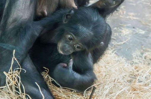 Bonobo-Baby stirbt an Lungenentzündung
