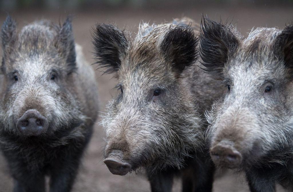Wildschweine waren gerade dabei die Fahrbahn zu überqueren. (Symbolbild) Foto: dpa/Ralf Hirschberger