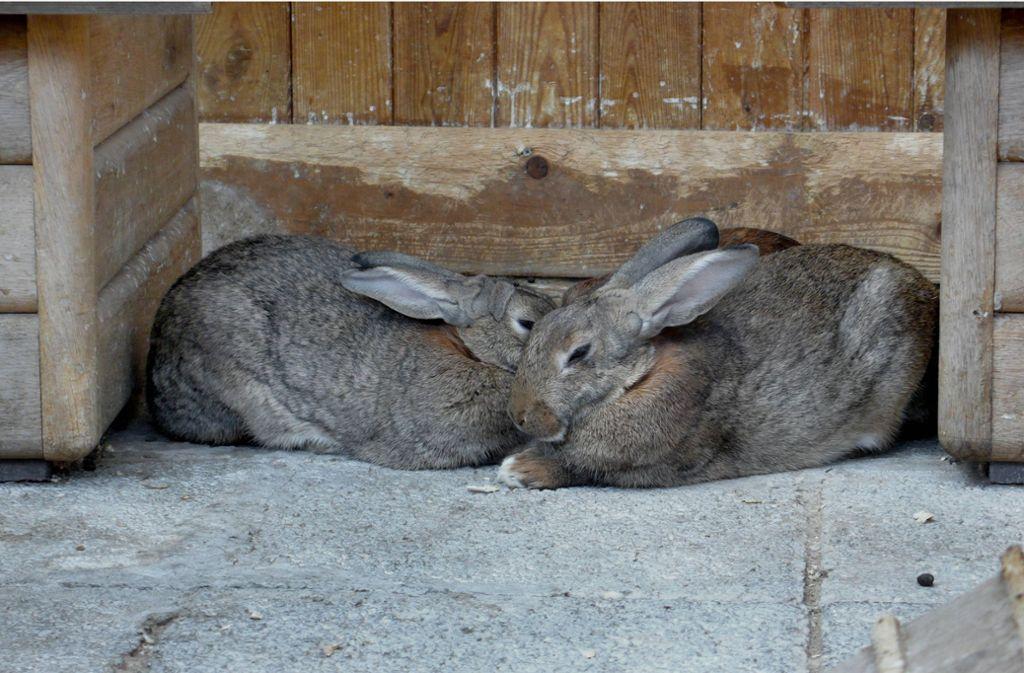 Zwei Hasen sind in Burgstetten erschlagen worden. (Symbolbild) Foto: imago stock&people/imago stock&people
