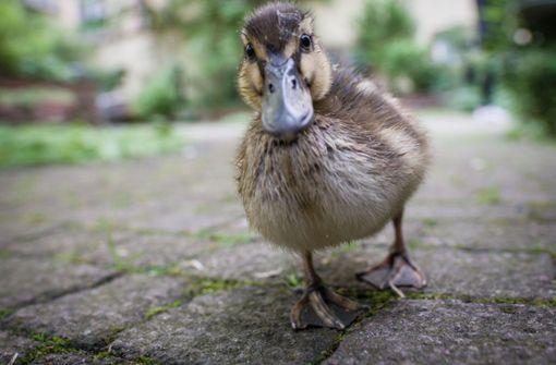 Taxifahrer soll humpelnde Ente absichtlich überfahren haben