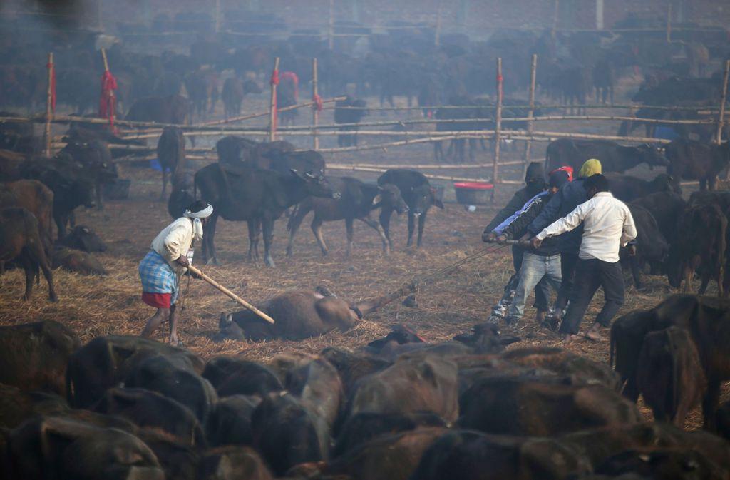 Männer ziehen den toten Körper eines Büffels während des Gadhimai-Festes, dem zweitägigen Opferfest für die hinduistische Göttin der Macht Gadhimai im nepalesischen Bariyarpur, von einem Feld. Foto: Samir Shrestha/AP/dpa