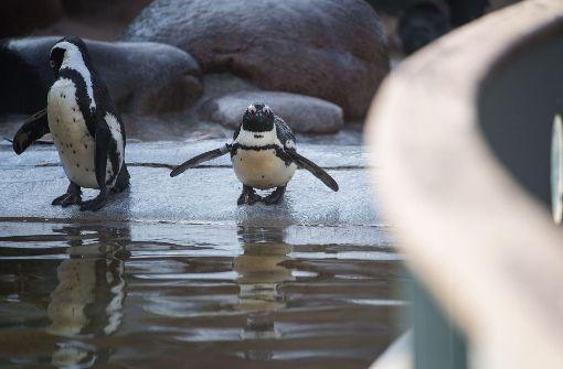 Pinguin in Mannheim weiteres Opfer?