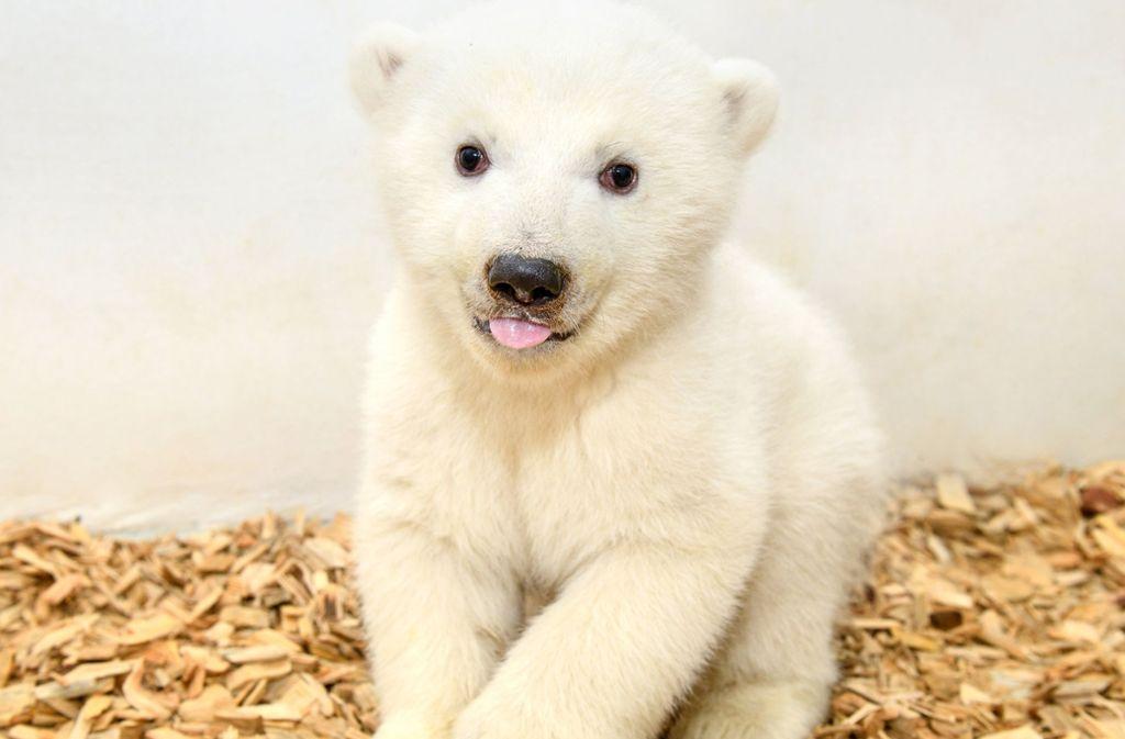 Das jung Eisbärmädchen hat noch keinen Namen. Foto: Berliner Tierpark