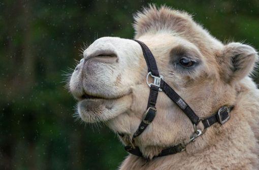 Ein Besuch auf dem Kamelhof