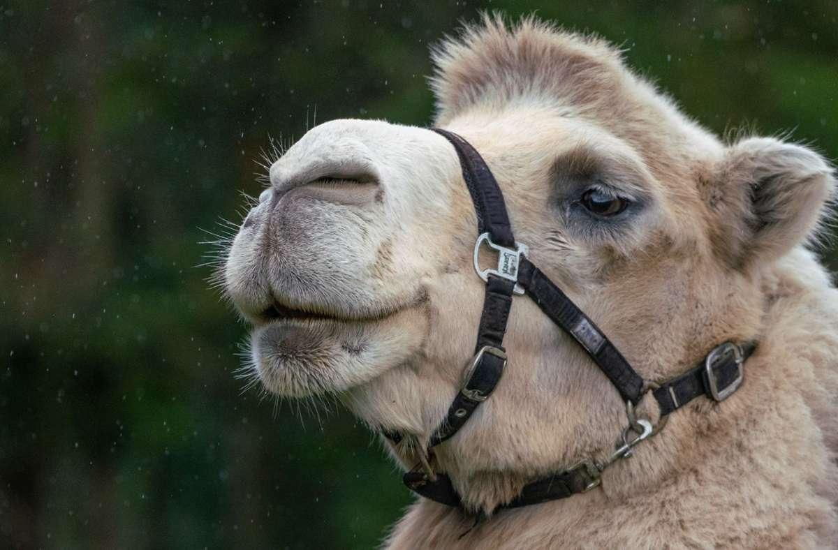 Der  2006 geborene Djabi ist auf dem Hof das einzige Kamel mit weißem Fell. Foto: factum/Andreas Weise