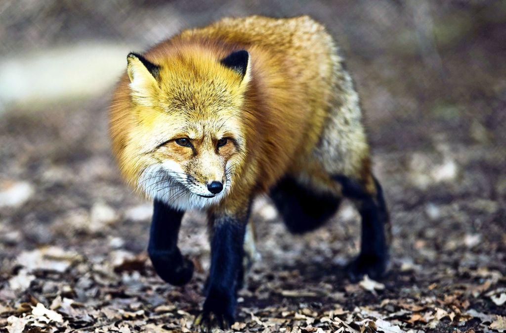 Auch wenn sie niedlich aussehen: Der Mensch sollte zu Wildtieren wie Füchsen Abstand halten. Foto: dpa/Alexander Heinl