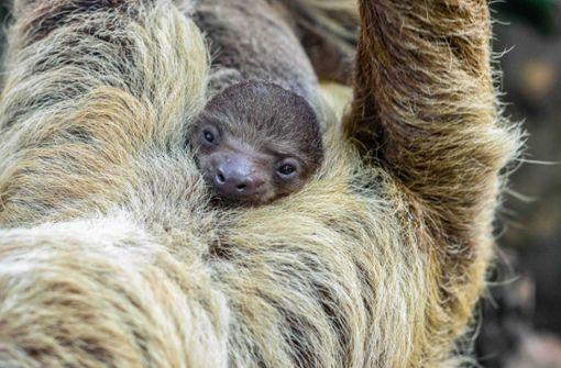 Knuffiges Faultierbaby erkundet die Welt von Mamas Bauch aus