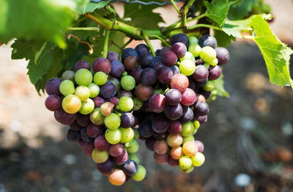 Täglich steigt der Zuckergehalt der  Trauben. Das geht auf Kosten der Säure. Foto: Ines Rudel