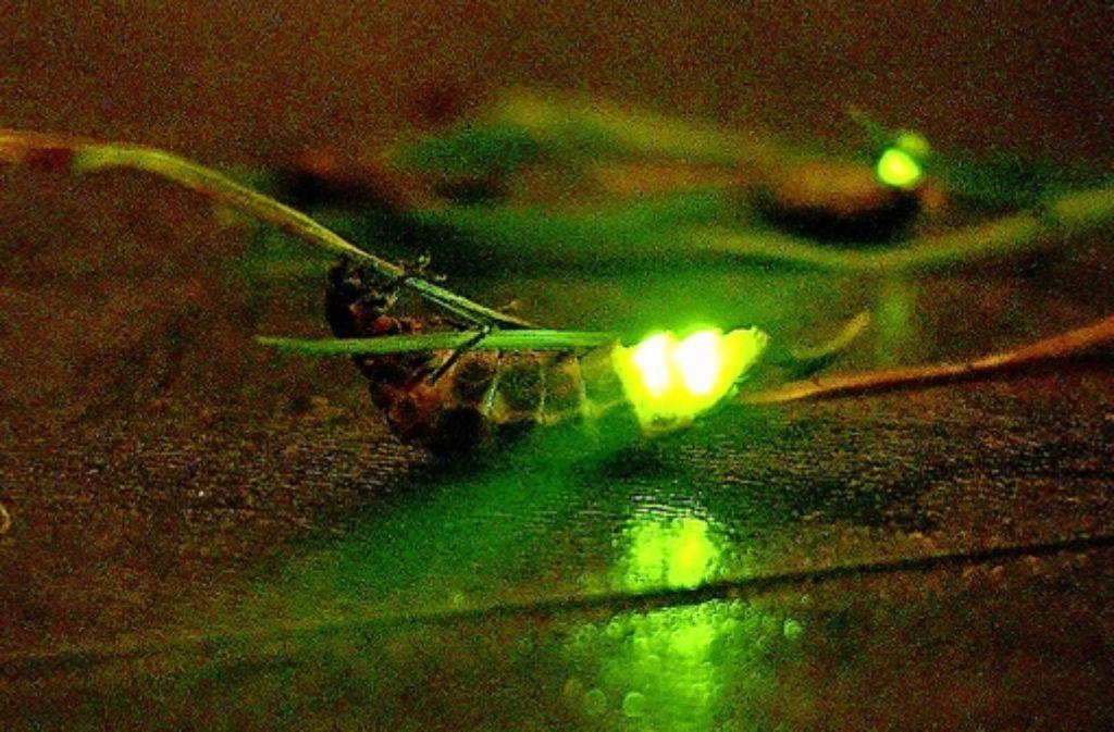 Warum Leuchten Glühwürmchen