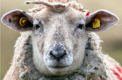 Senior von aggressivem Schaf getötet