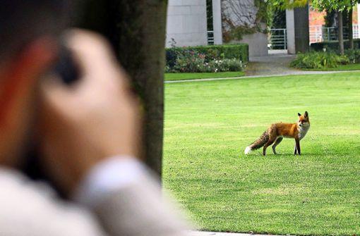 Wenn der Fuchs durch den Vorgarten streift
