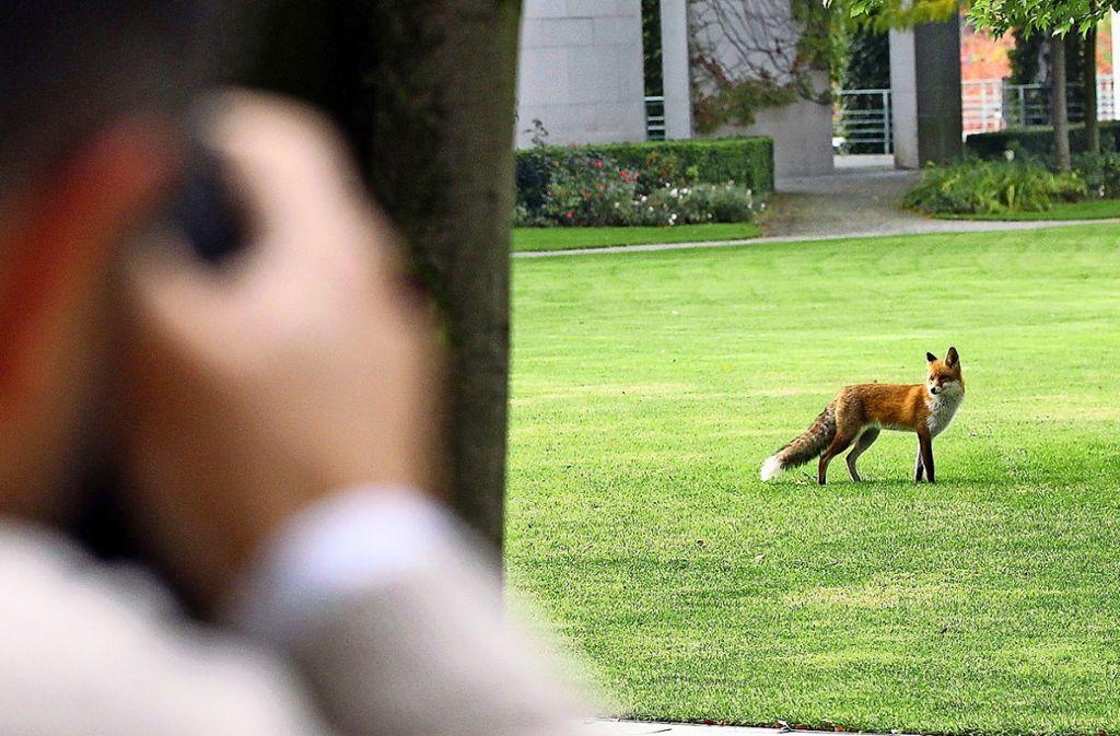 Immer mal wieder sind Wildtiere in der Stadt unterwegs. Foto: Symbolbild dpa/Wolfgang Kumm