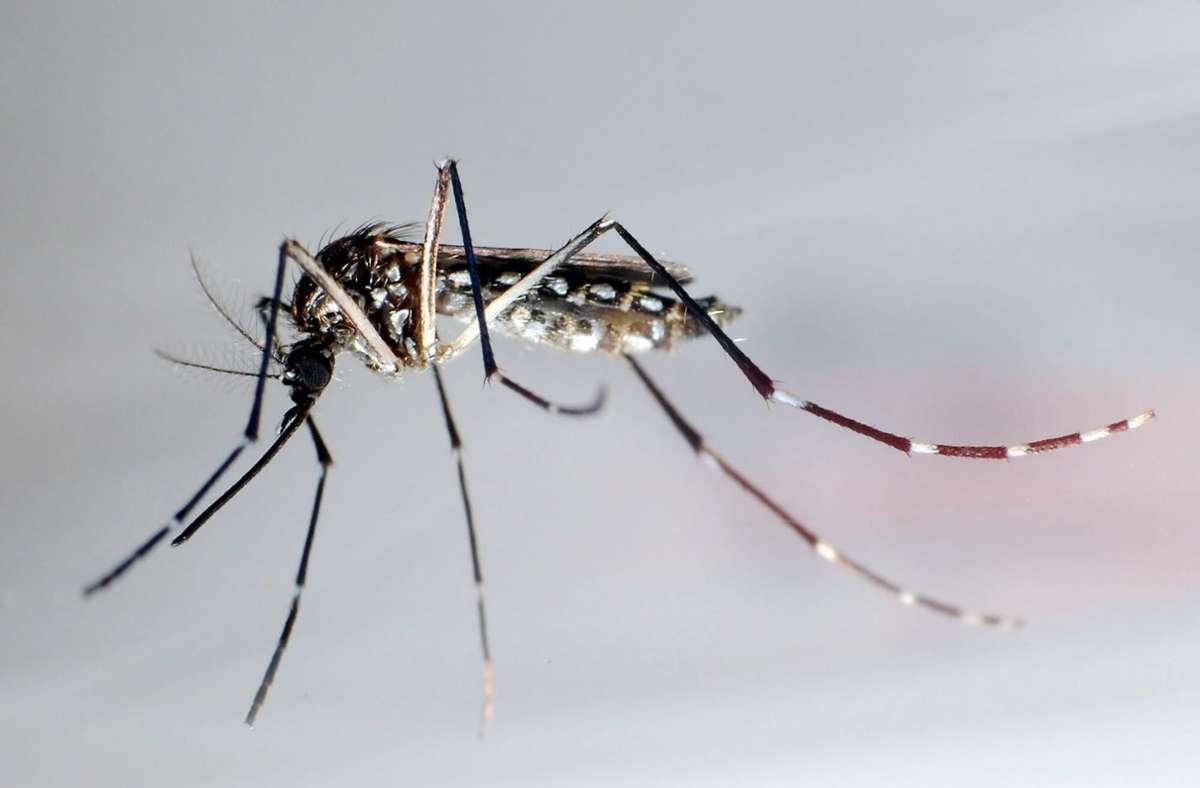 Die Tigermücke erkennt man an ihren getigerten Beinen. Foto: dpa/Gustavo Amador