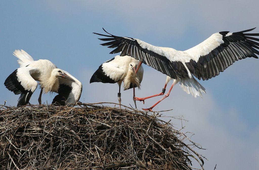 Ein Storch fliegt in Riedlingen-Zell ein Nest an, in dem zwei Jungstörche stehen. Foto: dpa