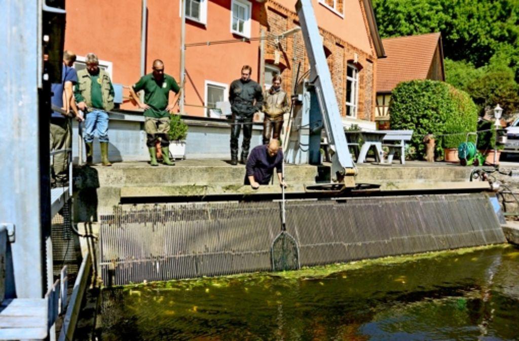 Am Rechen des Wasserkraftwerks Hürden bei Langenburg-Bächlingen versuchen die Fischer, noch lebende Tiere abzufangen und umzusetzen. Foto: Tanja Kurz