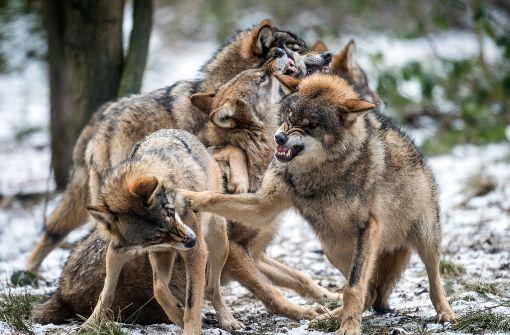 Ministerium lehnt Jagdrecht für Wölfe ab