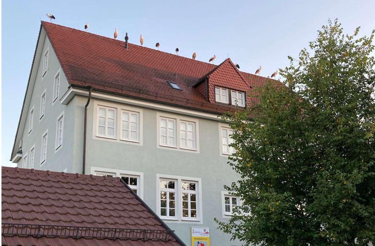 In Reih und Glied standen die Störche auf dem Dach. Foto: Achim Klausner