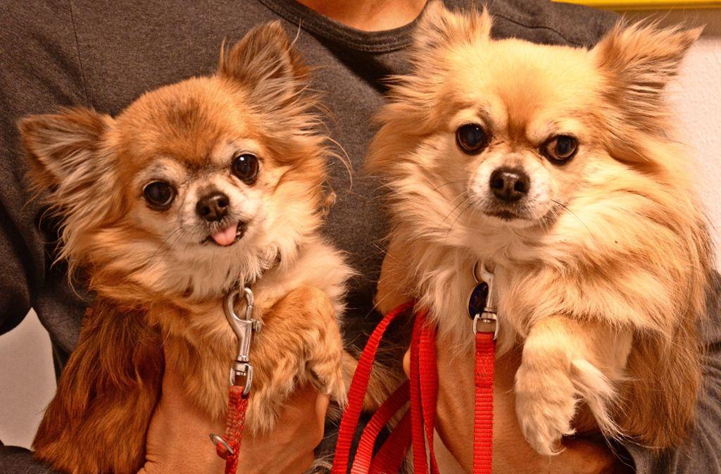 Die beiden Chihuahuas Sally und Chiccolo suchen Freiwillige, die mit ihnen in Vaihingen Gassi gehen. Foto: z/Tierschutzverein