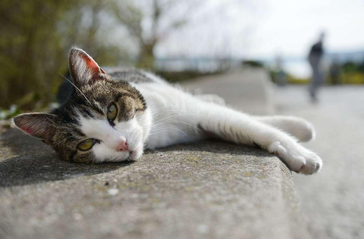 """Katzenbilder und -videos,  auf Neudeutsch """"Catcontent"""",   sind bei Nutzern in den sozialen Medien sehr beliebt. Foto: picture alliance / dpa/Felix Kästle"""