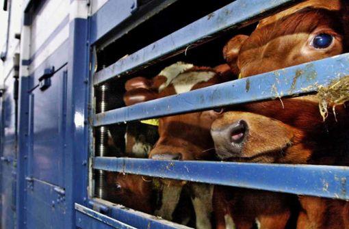 Gericht stoppt umstrittene Kälbertransporte nicht
