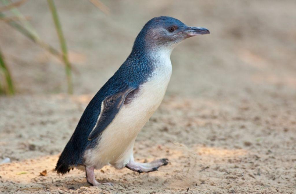 Zwergpinguine sind mit maximal 40 Zentimetern die kleinsten Pinguine – wie dieser Vertreter aus einem Zoo in Melbourne. Foto: Archiv
