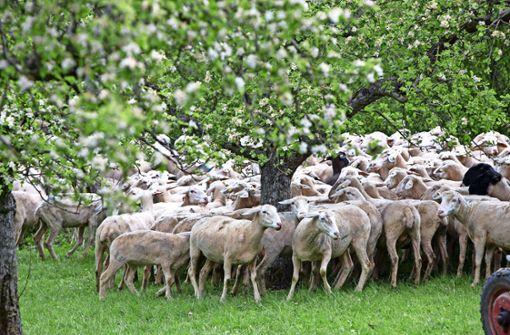 Schäfer darf weiterhin Schafe hüten