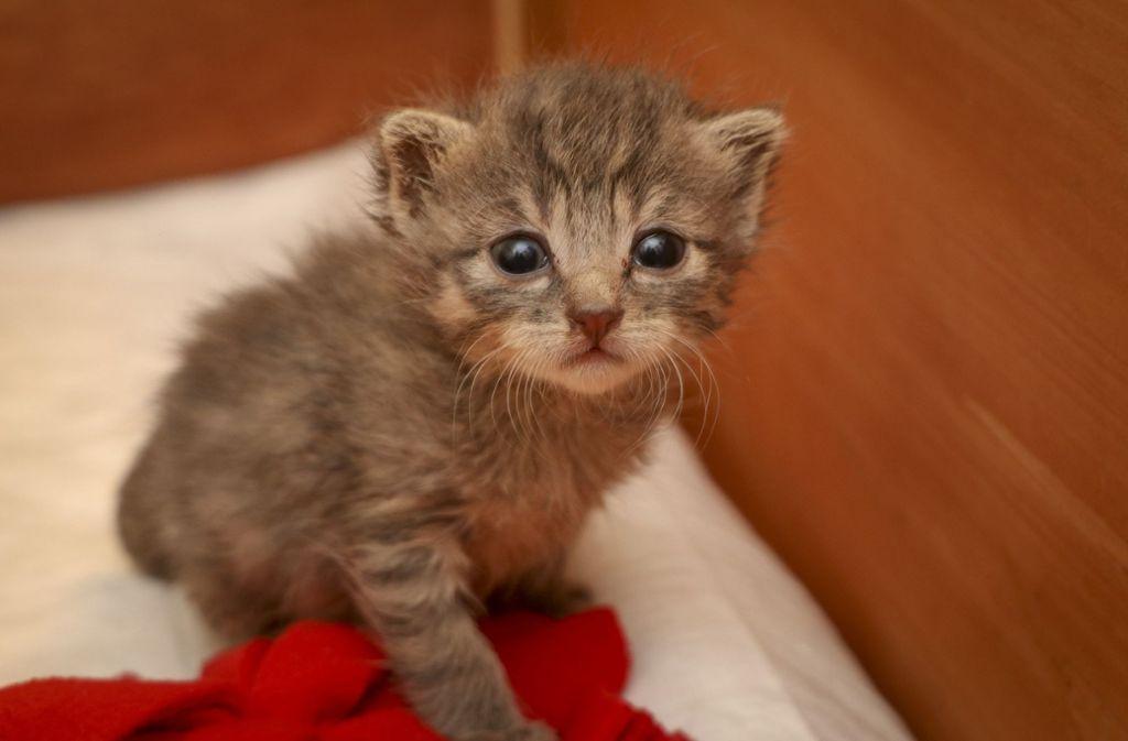 Wer kann dazu schon Nein sagen: Dieses  etwa 100 Gramm schwere Katzenbaby ist drei Wochen alt. Foto: factum/Granville