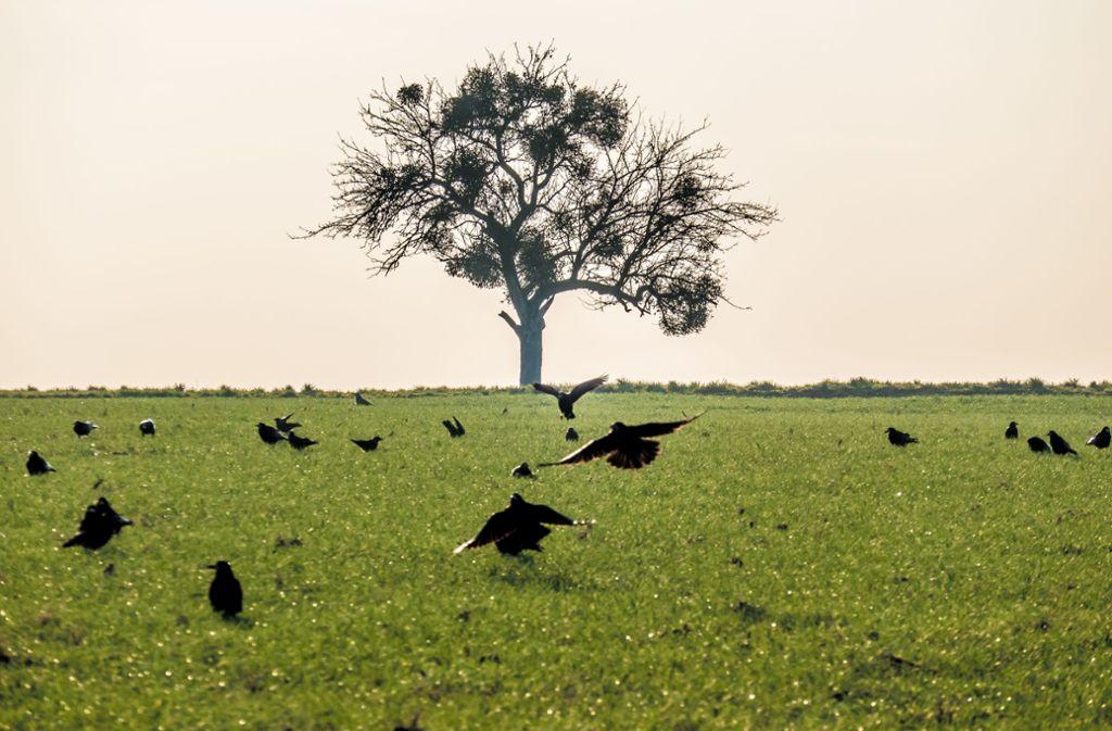 Ganz schön schlau: Krähen führen manchmal auch ihre Artgenossen hinters Licht. Foto: Adobe Stock
