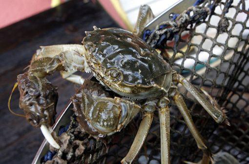 Zollbeamte stoppen Einfuhr einer invasiven Krabbenart
