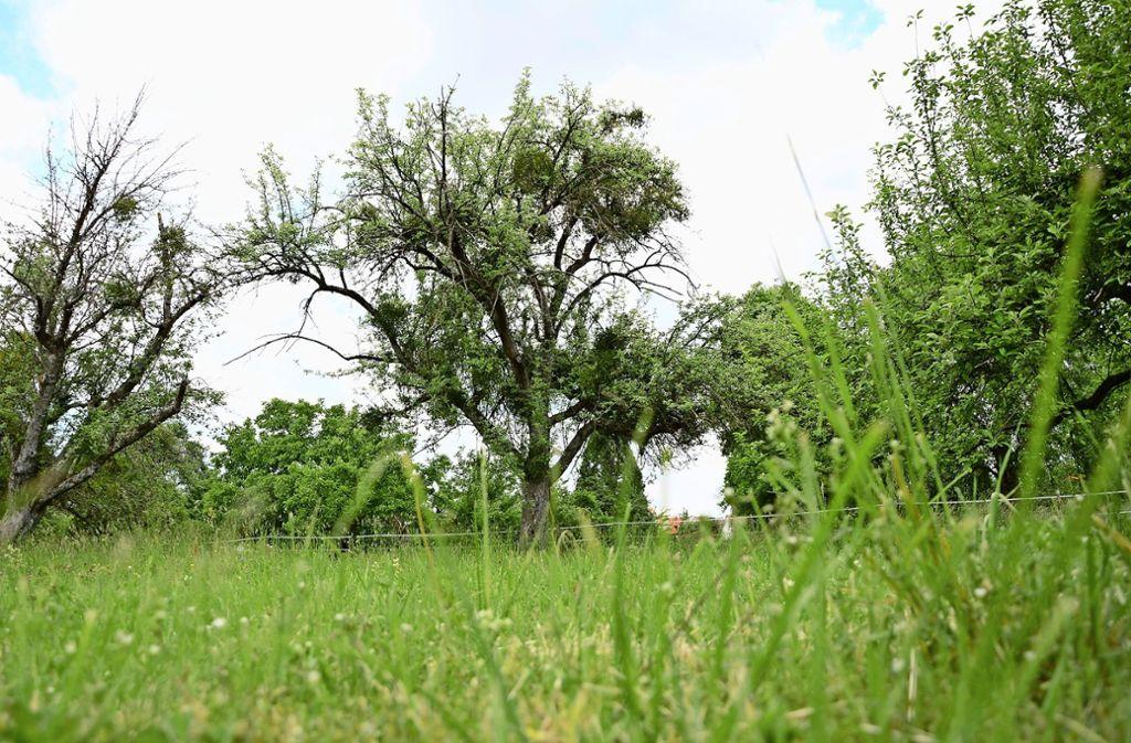 In L.-E. gefährden Misteln die Bäume auf den Streuobstwiesen. Foto: Phillipp Braitinger