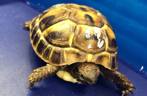 Zoll stoppt Mann mit lebender Schildkröte in Bauchtasche