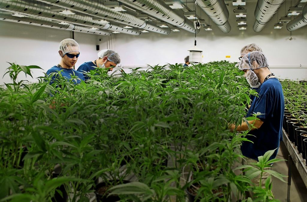 In den Gewächshäusern  von Canopy im kanadischen Smith Falls bearbeiten Mitarbeiter  Cannabispflanzen. Foto: PA Wire