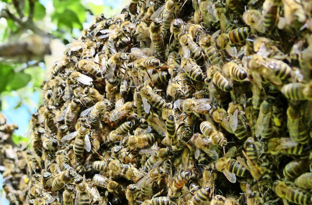 Honigbienen sind bereits im Frühjahr zahlreich als Bestäuberinnen aktiv. Foto: Michael Käfer