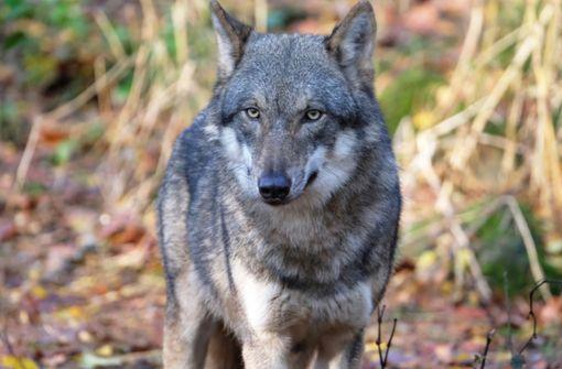 Wolf in Görlitzer Innenstadt eingefangen