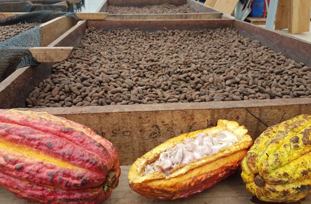 Erste Ernte auf El Cacao: vorne die reifen Früchte, hinten getrocknete Kakaobohnen Foto: StZ