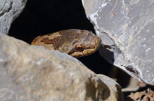 Die kleine Kappelberg-Anakonda