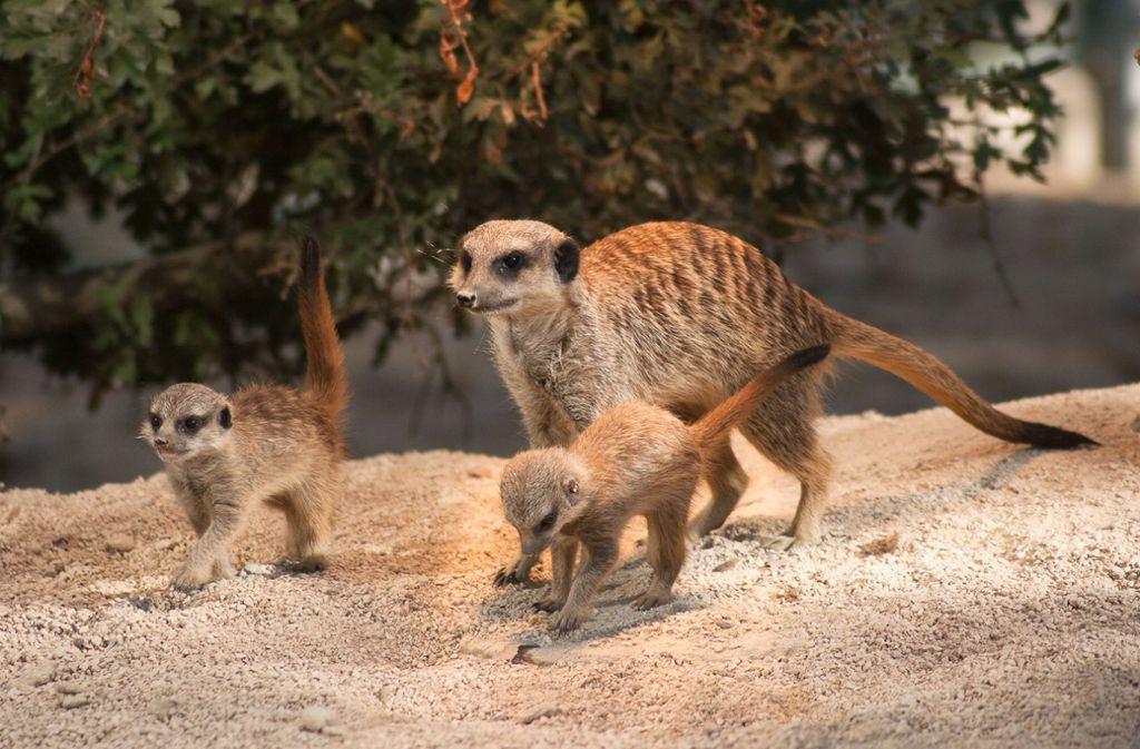 Die ersten Wochen hatten die neugeborenen südafrikanischen Schleichkatzen demnach in einer beheizten Höhle verbracht, in der sie geboren wurden.  Foto: Wilhelma