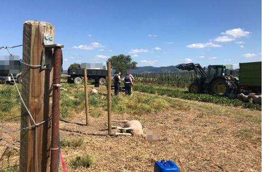 Mehrere Schafe bei Kirchheim verdurstet