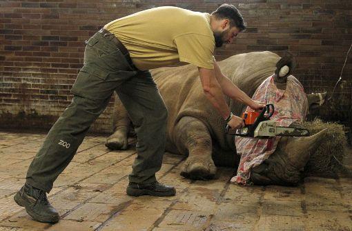 Zoo kürzt Nashörnern mit Kettensäge das Horn